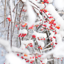 Unedited - Snow Berries 2 by Julie Josey - Nature Up Close Trees & Bushes ( winter, snow, unedited, new hampshire, berries,  )