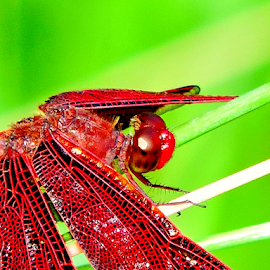 Scarlet Darter by Yusop Sulaiman - Animals Insects & Spiders