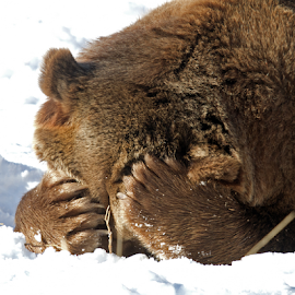 That Kind of Day by Lloyd Alexander - Animals Other Mammals ( grizzly, bear, wild, yellowstone, lloyd alexander, nature, strong, wildlife, power, big, natural, mammal )
