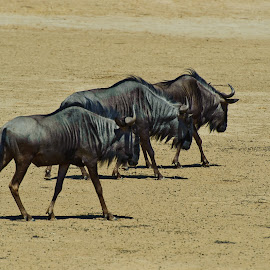 Blue Wildebeest - Gnu by Charel Schreuder - Animals Other ( gnu, photo sales, south africa, nossob, googlephotographer, kgalagadi transfrontier park, kalahari, charel schreuder, blue wildebeest )