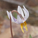 White Fawnlily or White Trout Lilly