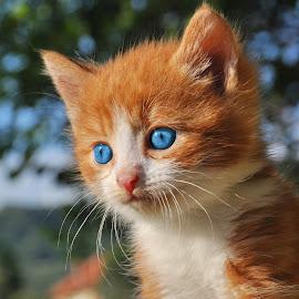by Maja  Marjanovic - Animals - Cats Kittens ( cats, kitten, cat, animals, kittens, kitty,  )