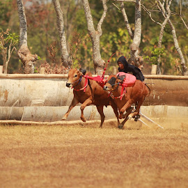bull race by Yohanes Wahyu - Sports & Fitness Other Sports