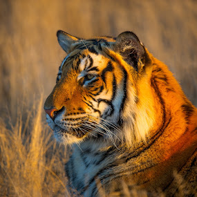 Pose by Bridgena Barnard - Animals Lions, Tigers & Big Cats ( nature, tiger, wildlife, bridgena )