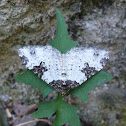 Garden Carpet Moth