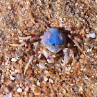 Blue army crab
