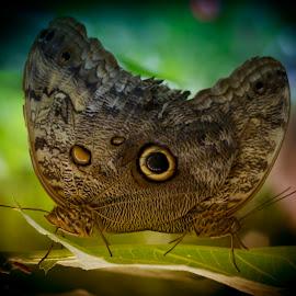 Butterflies by Kelly Murdoch - Animals Insects & Spiders ( butterfly, breeding, butterflies, wings, matting, leaves, mate, eye, ztam )
