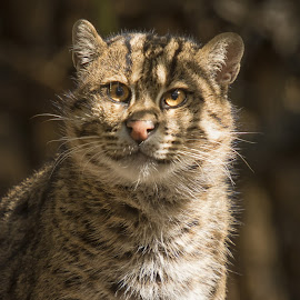 Asian Fishing Cat by Doug Chesser - Animals - Cats Portraits ( cat, smiling cat, wet cat, asian fishing cat, fishing cat )