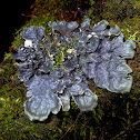 Large black dog-lichen