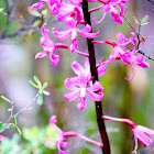 Pink Hyacinth Orchid