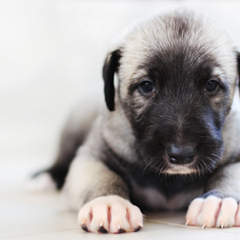 Irish wolfhound puppy by Barbora Irish Wolfhound - Animals - Dogs Puppies ( #GARYFONGPETS, #SHOWUSYOURPETS )