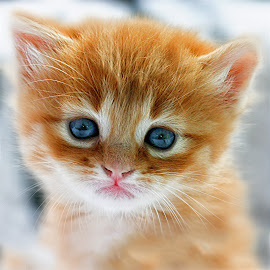 Kitten by John Phielix - Animals - Cats Kittens ( cat, kitten, pet, portrait, animal,  )