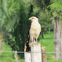 Yellow-headed Caracara / Chiriguare