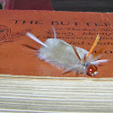 Sycamore Tussock Moth