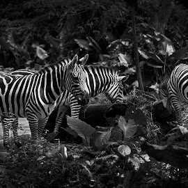 Zebras in black and white by Amir Adham - Animals Horses ( blackandwhite, horse, zaebra, stripes, animal )