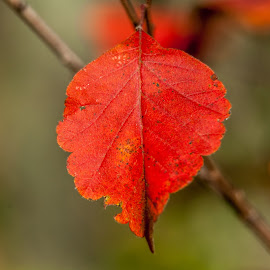Red leaves of fall by Joseph Martinez - Nature Up Close Leaves & Grasses ( red, fall, d5200, nikon, leaves, color, colorful, nature )