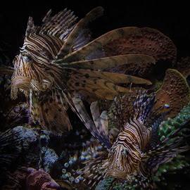 by Bruce Cramer - Animals Fish (  )