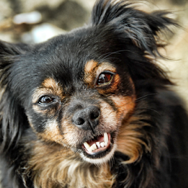 Old smile. by Antonio Amen - Animals - Dogs Portraits