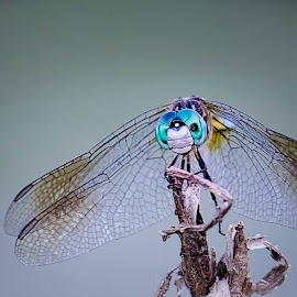 Dragonfly Portrait by Karen Raymond Burke - Animals Insects & Spiders