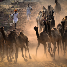 Herd of camel in a mystic world of Pushkar by Ravindra Tanwar - News & Events World Events