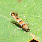 Leaf Blotch Miner