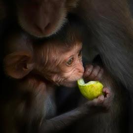 Safe Shelter by John Finch - Animals Other Mammals ( baby monkey, animals, monkeys, nature and wildlife, thailand )
