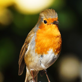 Rockin' Robin by Sue Lascelles - Novices Only Wildlife ( bird, robin, red, winter, wildlife, garden )