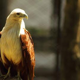 Elang by Ibnu Sina - Animals Birds