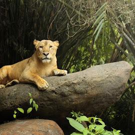 imagebyGunawan by Gunawan Wibisono - Animals Lions, Tigers & Big Cats (  )