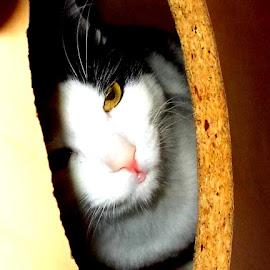 by Camelia Cami - Animals - Cats Portraits (  )