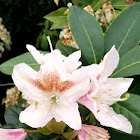 Cunningham's White Rhododendron
