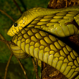 Western Green Mamba by Rod Schrader - Animals Reptiles