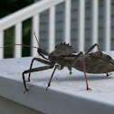 assassin bug aka wheel bug