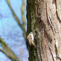 The Eurasian Treecreeper
