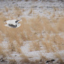 Snowy owl / harfand des Neiges