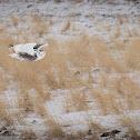 Snowy owl / harfand des Neiges