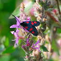 Five-spot Burnet, Gitana de cinco puntos