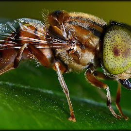 Macro of a Bee by Akshay Dharmadhikari - Animals Insects & Spiders ( macro, nature, crisp, handheld, bee )