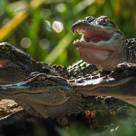 Baby Gators 6 by Harvey Lindenbaum - Animals Reptiles ( reptiles, alligator, sc, baby animals, pinckney island )