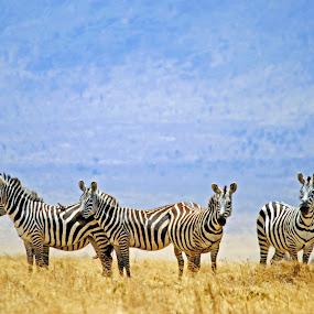 Zebras by Jaliya Rasaputra - Animals Other Mammals ( zebras,  )