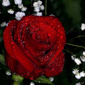 by Cheryl Hudnall Kincaid - Flowers Flower Arangements (  )