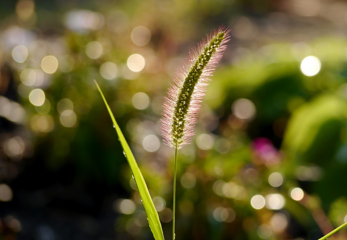 grass(common grass plant)