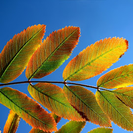 Rainbow-leaf by Sipsu Söderholm - Nature Up Close Leaves & Grasses ( autumn, leaf, rainbow, mountain ash, colours, rowan, fall, color, colorful, nature )