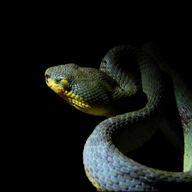#BAMBOO PIT VIPER by Sanky Dhande - Novices Only Wildlife (  )