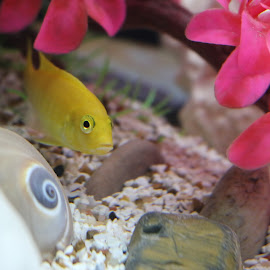 African Cichlid by Meenakshi Yadav - Animals Fish ( fish, aquarium, african cichlid, close up, yellow lab,  )