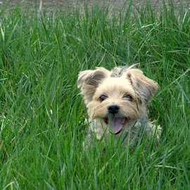Tall Grass by Edward Grylich - Animals - Dogs Portraits