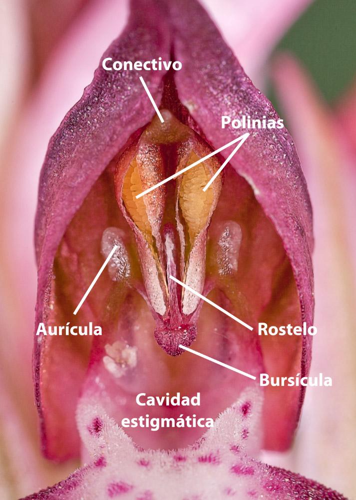 Verticilos fértiles de Anacamptis coriophora