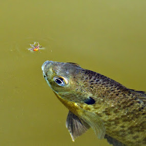 The Tick and the Bluegill by Herb Houghton - Animals Fish ( tick, macro, sunfish, blue gill, herbhoughton.com )