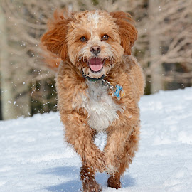 Cavapoo smile by Steven Liffmann - Animals - Dogs Playing ( playing, snow, puppy, cavapoo, smile, dog, running,  )