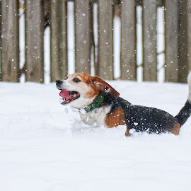 Snow! by Andrew Lawlor - Animals - Dogs Running